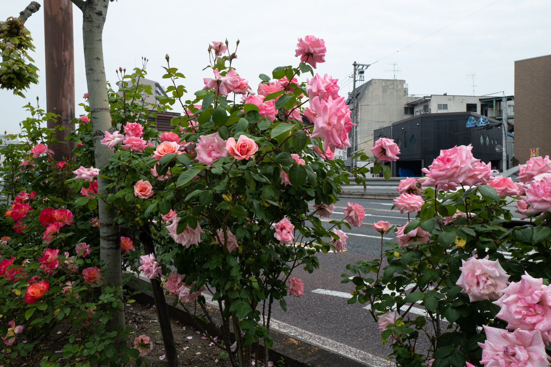 カンデオホテルズ福山への途中のバラ2