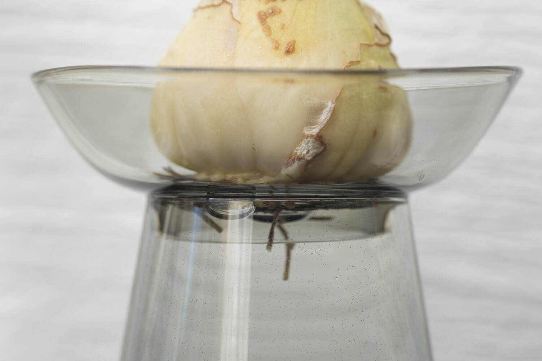 KINTO(キントー)アクアカルチャーベース80mmグレーに球根を植えたとき